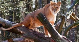 lionfeat