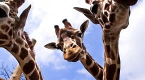 Petting Giraffes at Dierenpark Amersfoort = AWESOME!